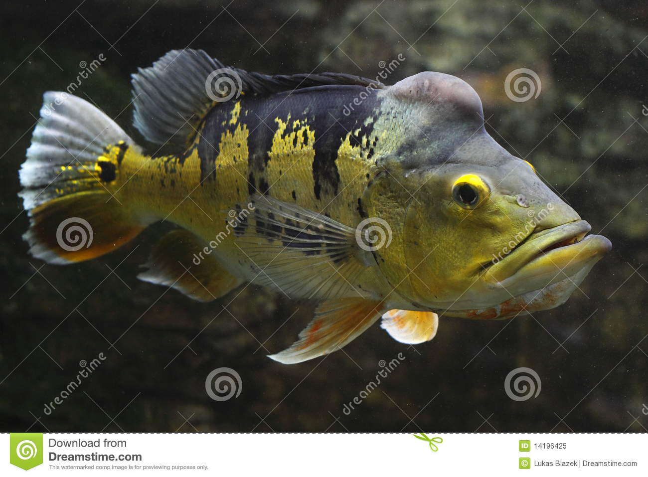 Oscar (Fish) clipart #3, Download drawings