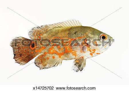 Oscar (Fish) clipart #4, Download drawings