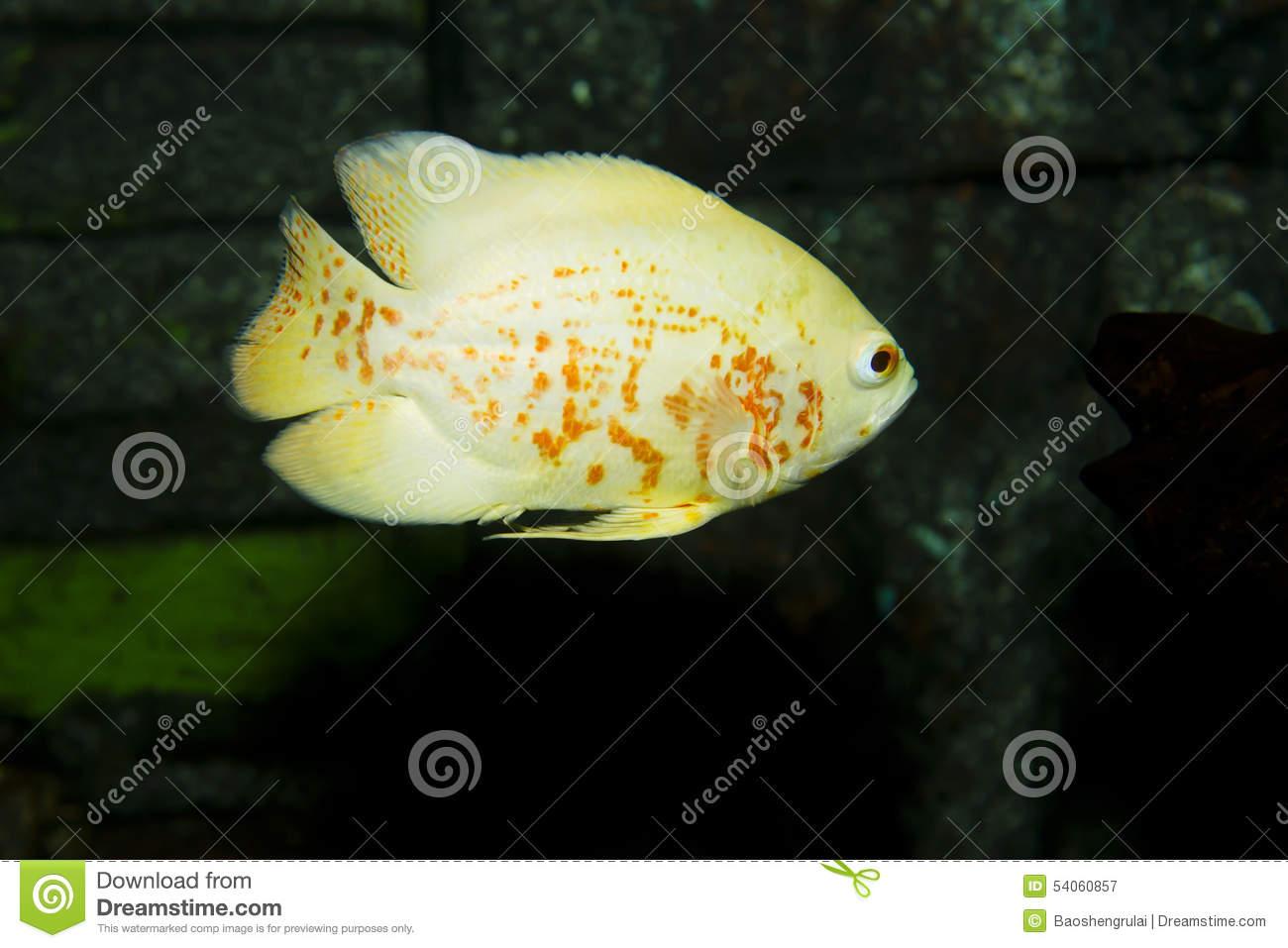 Oscar (Fish) clipart #6, Download drawings