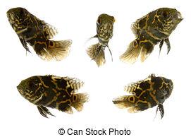 Oscar (Fish) clipart #5, Download drawings