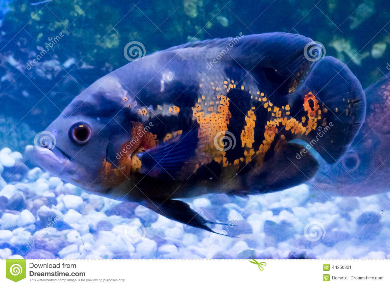 Oscar (Fish) clipart #13, Download drawings