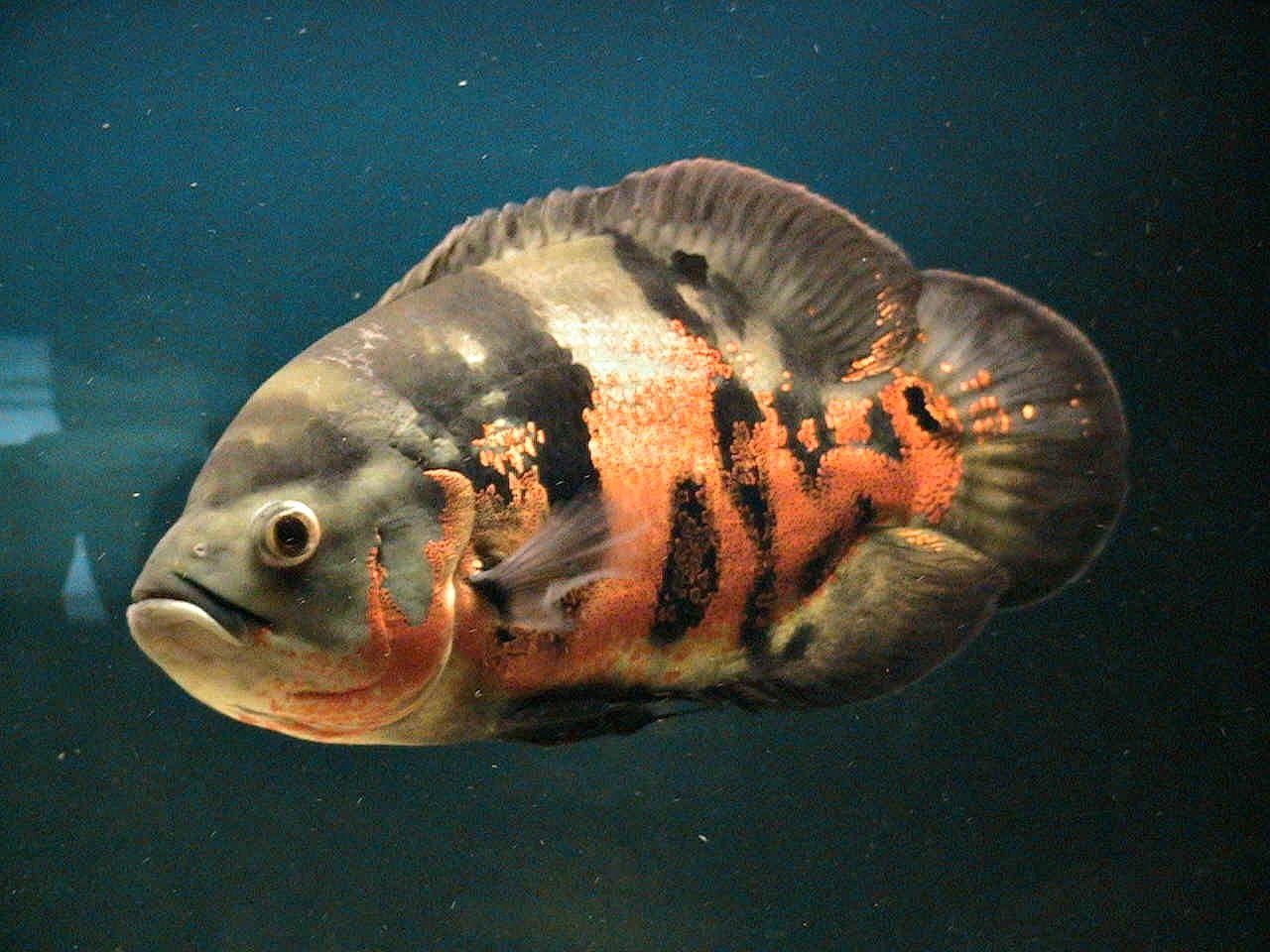 Oscar (Fish) svg #4, Download drawings