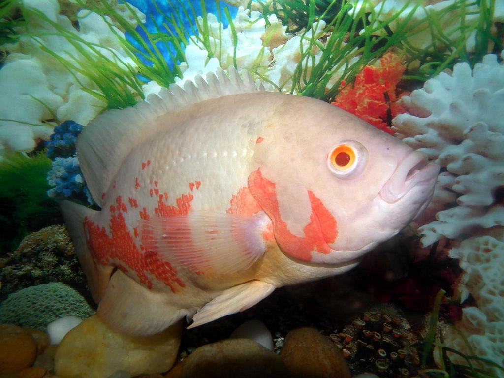 Oscar (Fish) svg #3, Download drawings