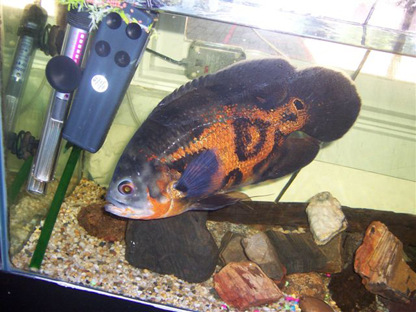 Oscar (Fish) svg #2, Download drawings