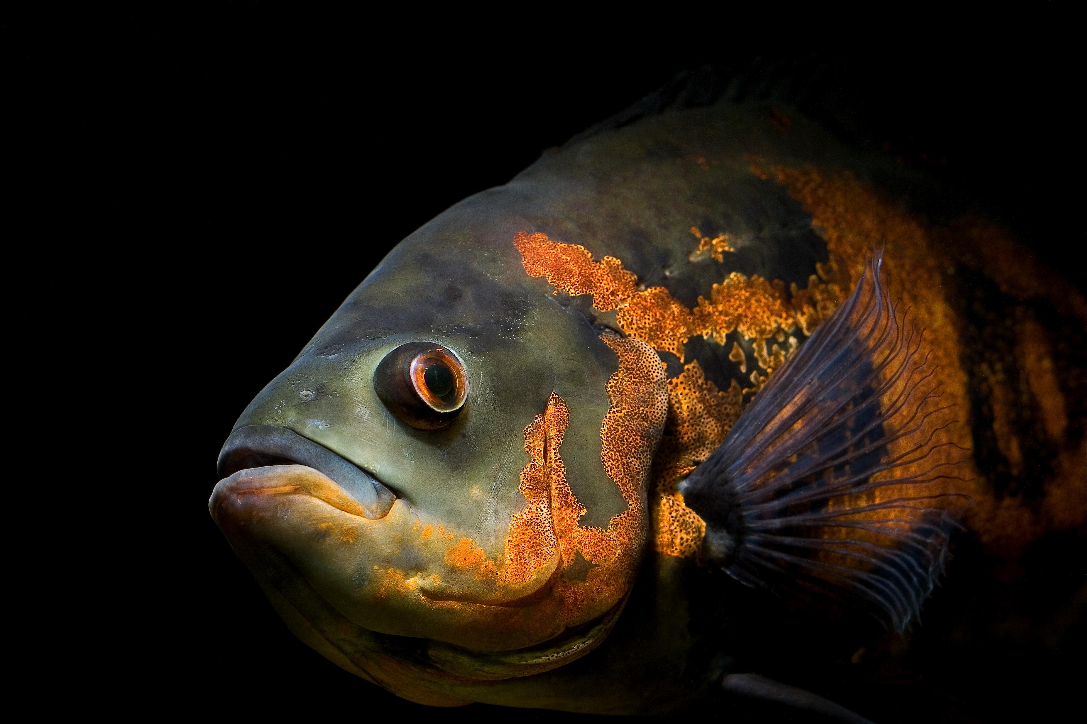 Oscar (Fish) svg #1, Download drawings