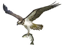 Osprey clipart #18, Download drawings