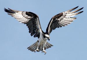 Osprey clipart #10, Download drawings