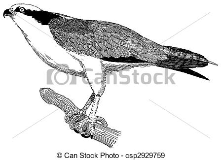 Osprey clipart #12, Download drawings
