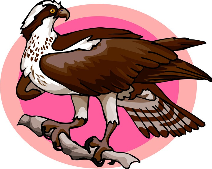 Osprey clipart #6, Download drawings