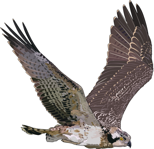 Osprey clipart #19, Download drawings