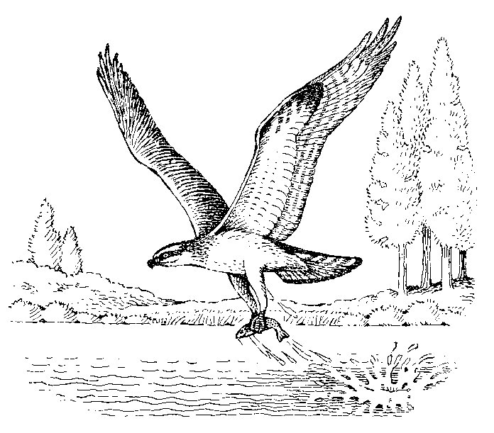 Osprey coloring #12, Download drawings