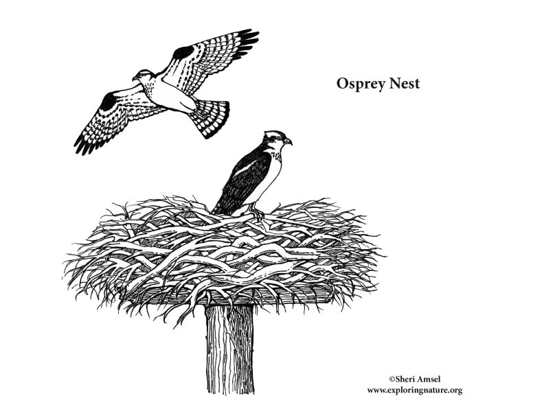 Osprey coloring #4, Download drawings