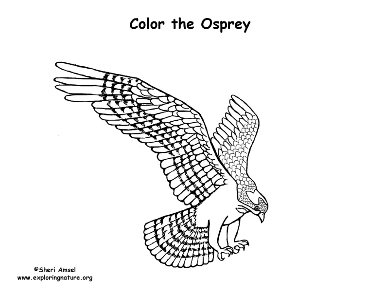 Osprey coloring #18, Download drawings