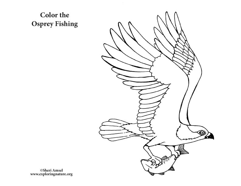 Osprey coloring #17, Download drawings