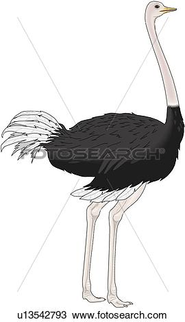 Ostrich clipart #3, Download drawings