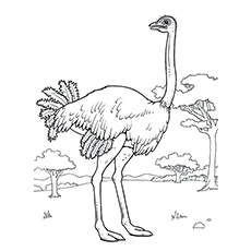 Ostrich coloring #6, Download drawings