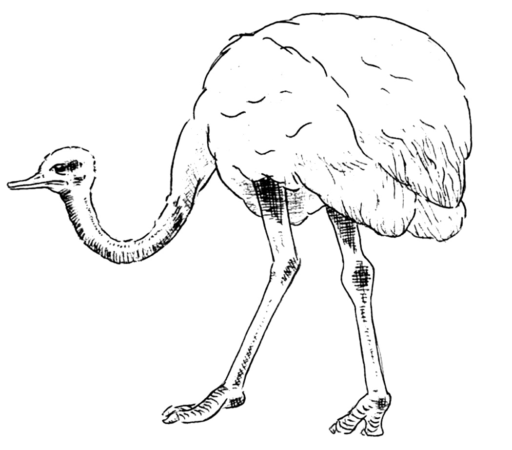 Ostrich coloring #18, Download drawings