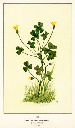 Oxalis clipart #8, Download drawings