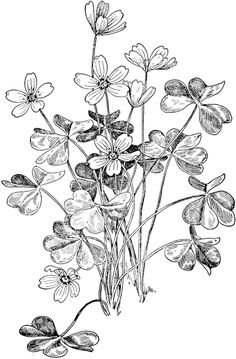 Oxalis clipart #3, Download drawings