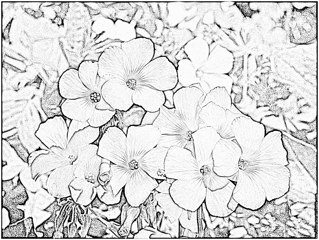 Oxalis coloring #13, Download drawings
