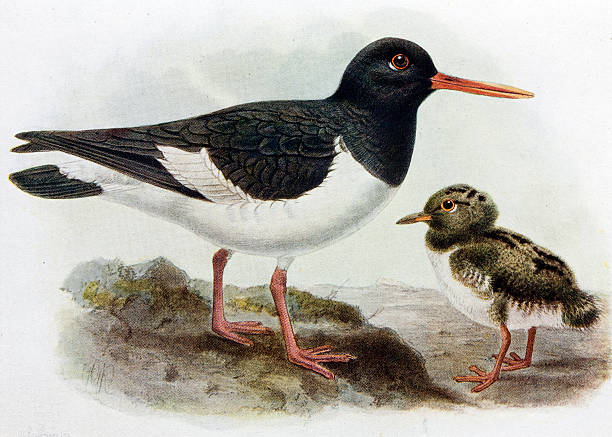 Oyster Catchers clipart #18, Download drawings