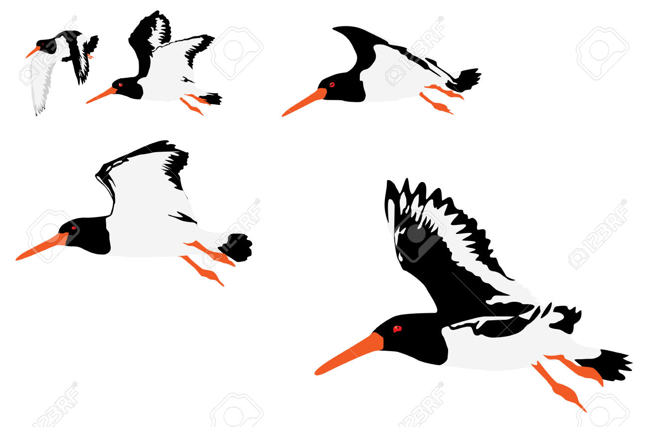 Oyster Catchers clipart #12, Download drawings