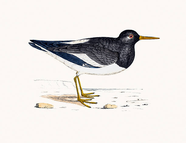 Oyster Catchers clipart #15, Download drawings