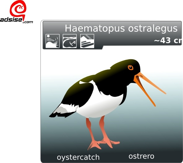 Oyster Catchers clipart #19, Download drawings