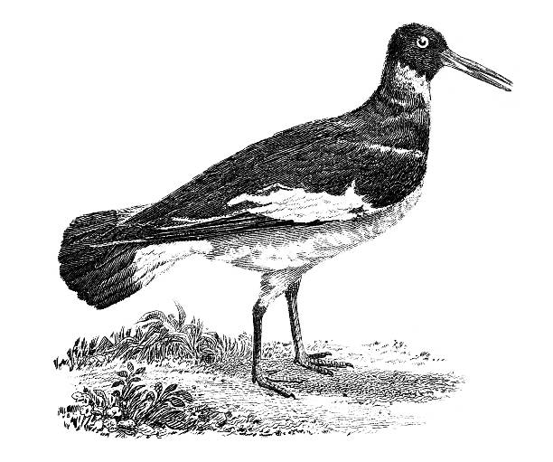 Oyster Catchers clipart #17, Download drawings