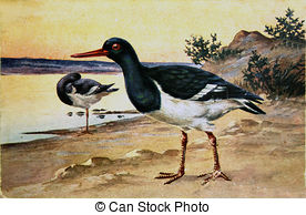 Oystercatcher clipart #2, Download drawings