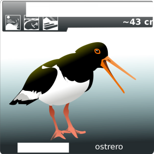Oystercatcher clipart #8, Download drawings