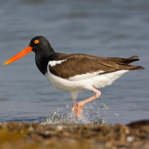 Oystercatcher clipart #11, Download drawings