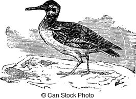 Oystercatcher clipart #10, Download drawings
