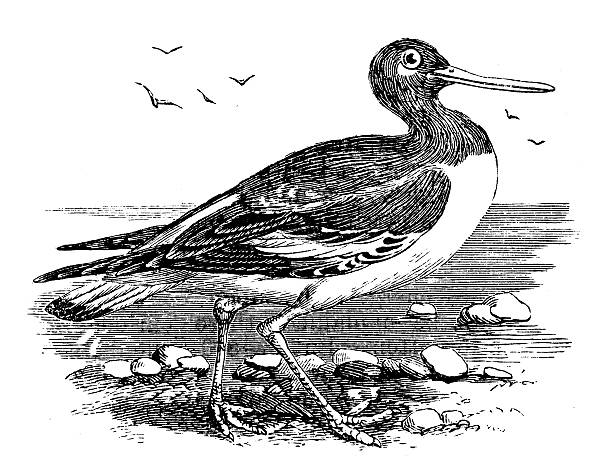 Oystercatcher clipart #12, Download drawings