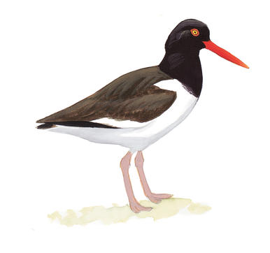 Oystercatcher clipart #19, Download drawings