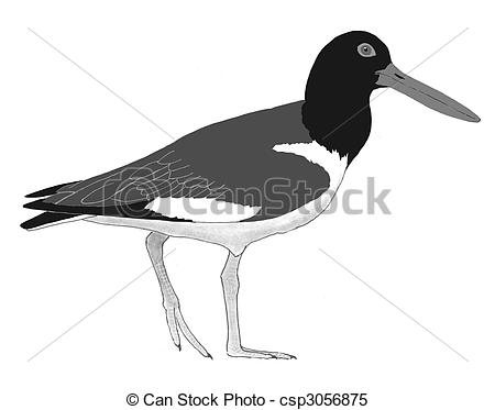 Oystercatcher clipart #16, Download drawings