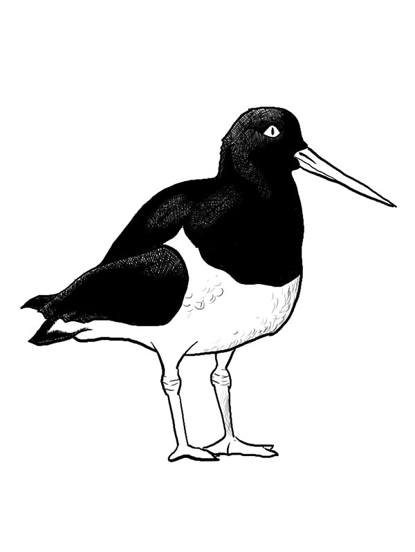Oystercatcher clipart #9, Download drawings