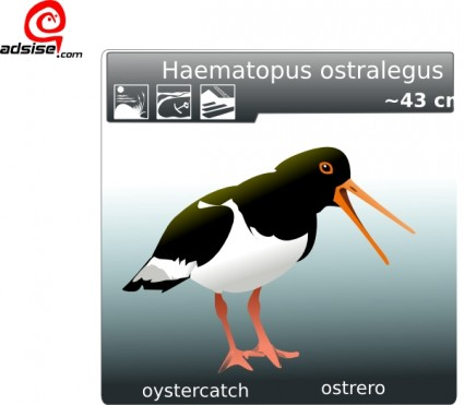 Oystercatcher clipart #13, Download drawings