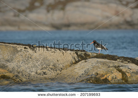 Oystercatcher coloring #8, Download drawings