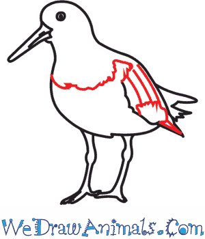 Oystercatcher coloring #10, Download drawings