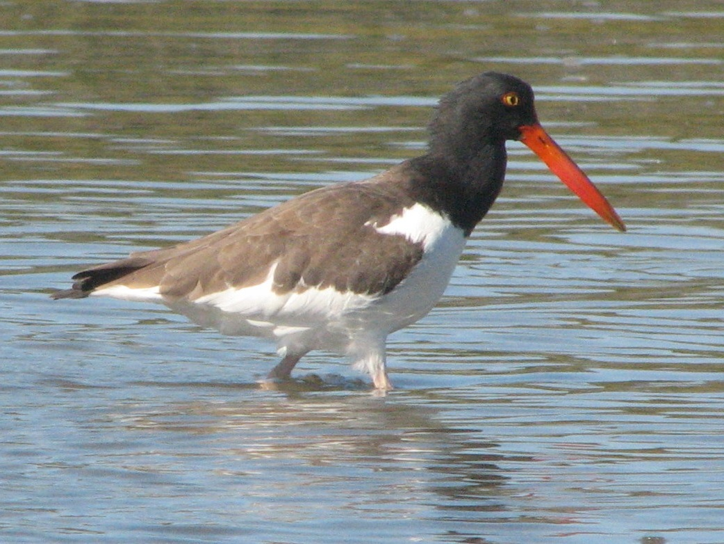 Oystercatcher coloring #3, Download drawings