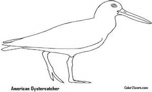 Oystercatcher coloring #19, Download drawings