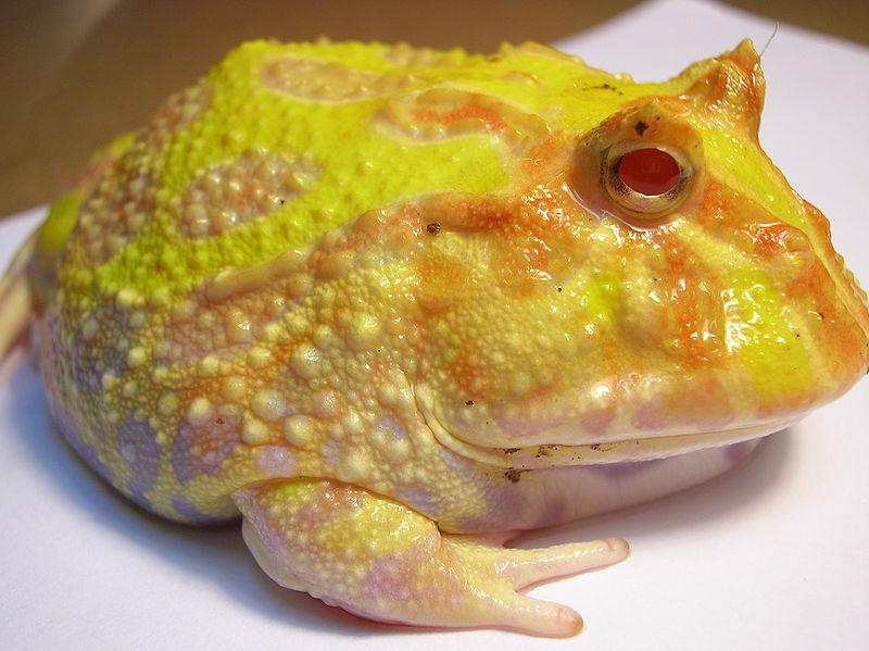 Pac-man Frog coloring #16, Download drawings