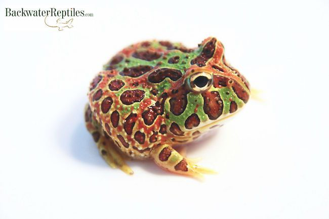 Pac-man Frog coloring #17, Download drawings