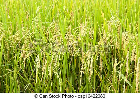 Paddy Field clipart #13, Download drawings
