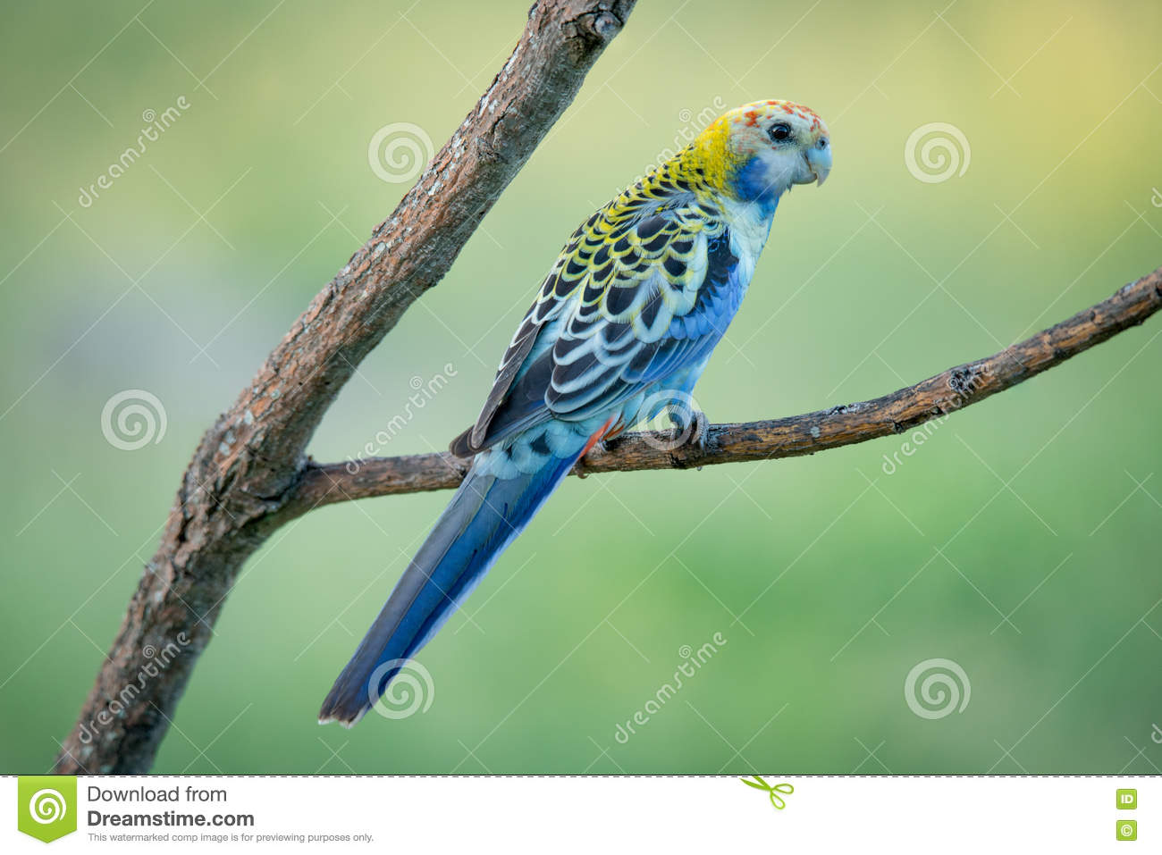 Pale-headed Rosella clipart #9, Download drawings
