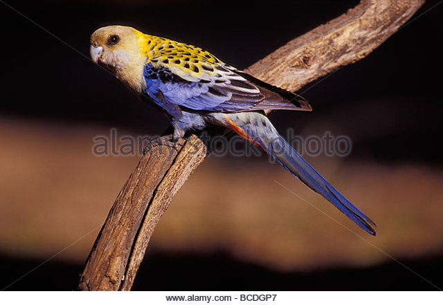 Pale-headed Rosella clipart #5, Download drawings
