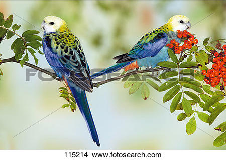 Pale-headed Rosella clipart #3, Download drawings