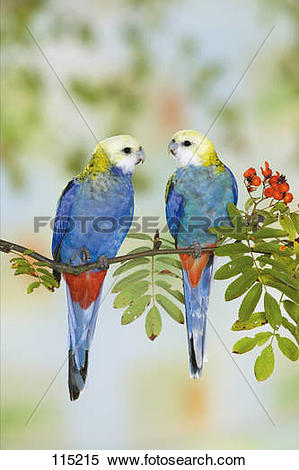 Pale-headed Rosella clipart #2, Download drawings