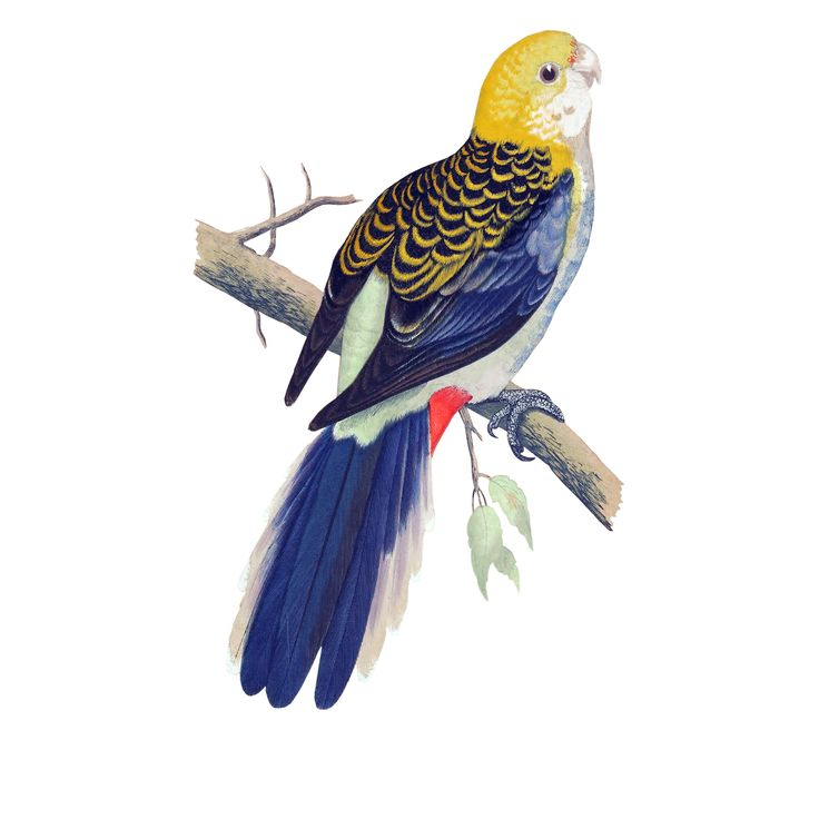Pale-headed Rosella clipart #16, Download drawings